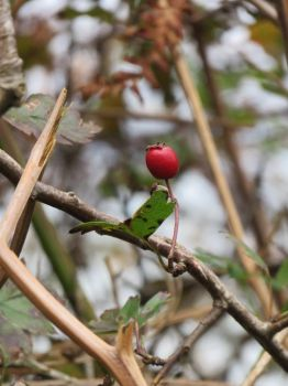 Red berry by Tish-Underwood