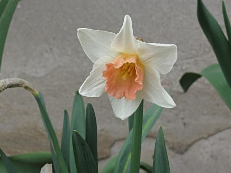 Spring Daffodil by Michies-Photographyy