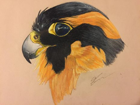 The Aplomado Falcon by ordinaryredtail