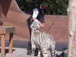 Scooby Playing with the Catman- White Tiger 2 by AbyssinalPhantom