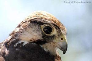 Lanner falcon by HappyRaindrop