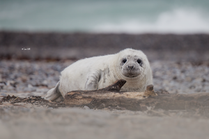 baby seal by Lain-AwakeAtNight