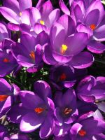 Crocii by KateHodges