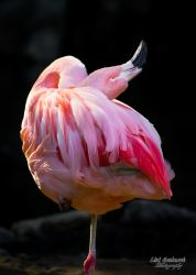 Flamingo 2 by CasualGoshawk