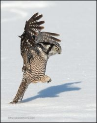 Northern Hawk Owl pouncing by gregster09