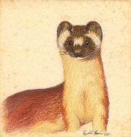 Bridled Weasel Study by Redwall151