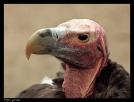 Vulture portrait by Dickie67