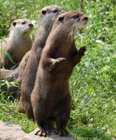 Otters by smithmar01