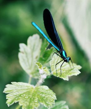 Ebony jewelwing by Hands-and-Teeth
