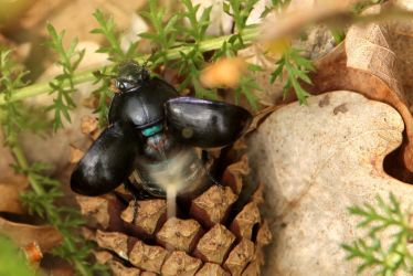 Dung Beetle Takes Flight by Sarah-on-Deviantart