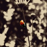 lady beetle by Pitrisek