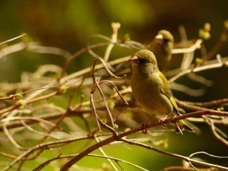 Siskin by photo-exile