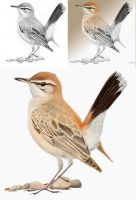 Rufous Bush Chat quick colouring by omnicogni