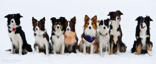 Border collies only by Vikarus