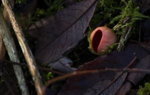 Red Cup Fungi 2 by Danimatie