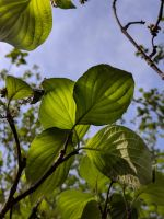 Dogwood Leaves in light by Naturevulpex