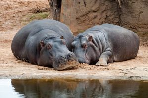 Hippopotamus by RobynCutts