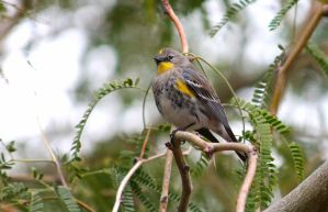Yellow rumped warbler by Monkeystyle3000