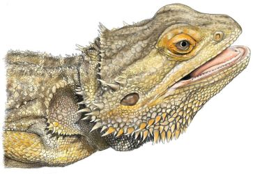 Digital Pet Portrait: Bearded Dragon 2 by HRLSS-GeckoTea