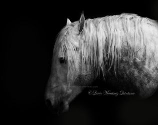 Percheron Horse by HorsEquinoS