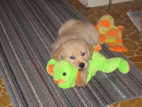 Golden Retriever Puppy 2 by Aeltari