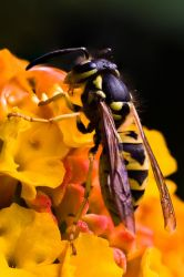 Fullsize detail of wasp by ChristophMaier