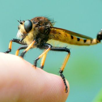 Asilidae on my finger by duggiehoo