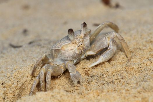 Ghost crab (Ocypode madagascariensis) by Azph