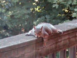Lazy Squirrel by Gingitsune-Lady-Fox