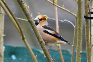 5872 Hawfinch / Big beak by RealMantis