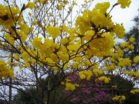 Tabebuia tree by mystumpf