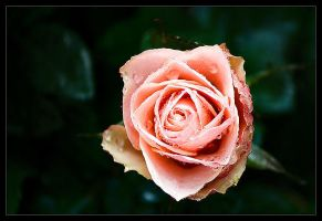 Red Rose by MartinAmm