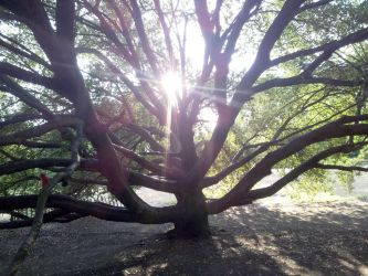 Sun seen through many-branched tree by rkibria
