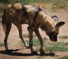 African Wild Dog Stock 14 by HymnsStock