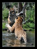 Siberian Tiger (011) - Playing with Daddy by Sikaris
