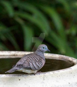 Peaceful Dove - watching by Violinscry