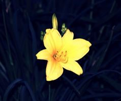 yellow lily by CommonMime