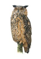 Snooty the Eagle Owl by EsthervanHulsen