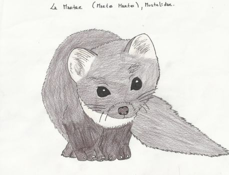 Martes Martes - Mustelidae (coloured) by LuckyWolf27