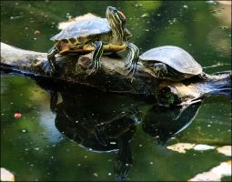 Turtle Reflection by mydigitalmind