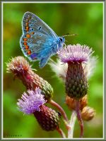 blue butterfly by ironman80