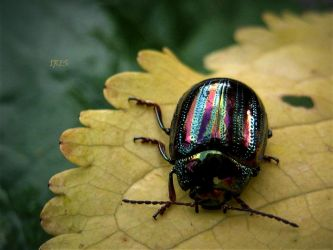 Chrysolina Americana by Iris-cup