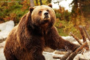Master Grizzly by Sagittor