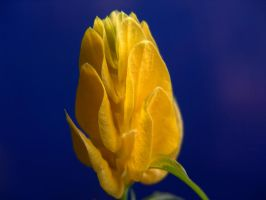 Yellow flower by plain-kady