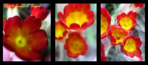 Red and Yellow Primroses by Jenna-Rose