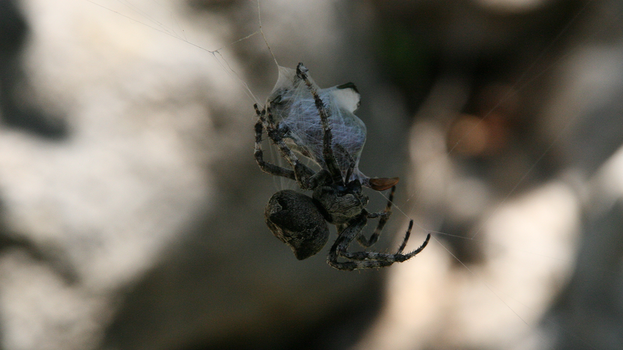 Spider tying up a beetle 1 by callegg