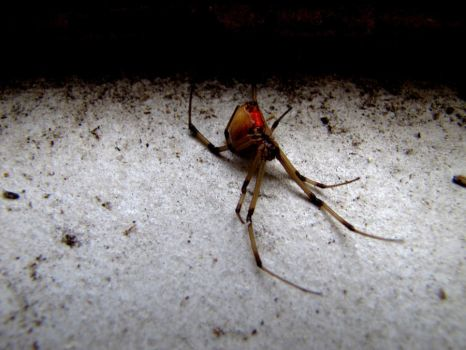 Hourglass - Brown Widow by Spiderphotographer
