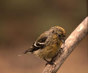 White-winger Crossbill (female) by dove-51