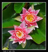 couple of water lillies by bracketting94