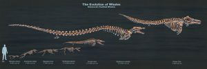 The Evolution of Toothed Whales (Skeletal Study) by TheDragonofDoom